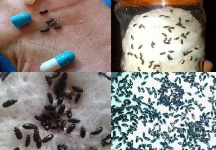 Manfaat Semut Jepang