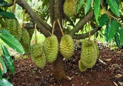 Jenis Durian Cepat Berbuah