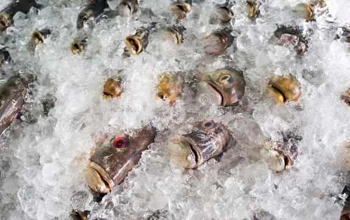 Cara Mengawetkan Ikan