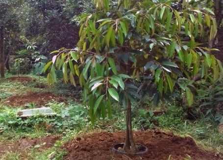 Syarat Tumbuh Tanaman Durian