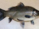 Ciri-ciri dan Klasifikasi Ikan Pisces