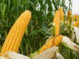 penanaman jagung